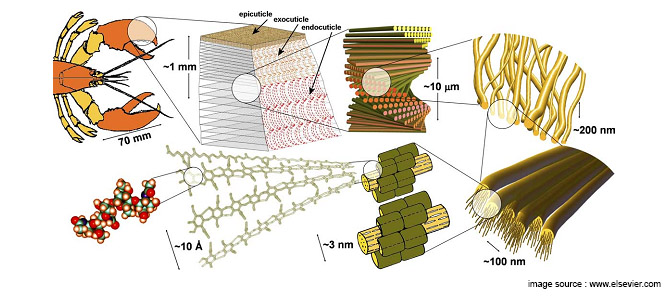 crab shell structure
