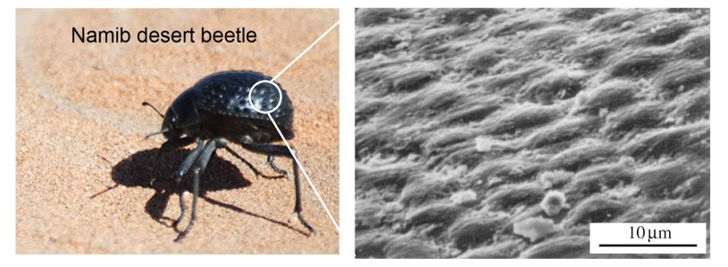 Namib desert beetle and skin structure