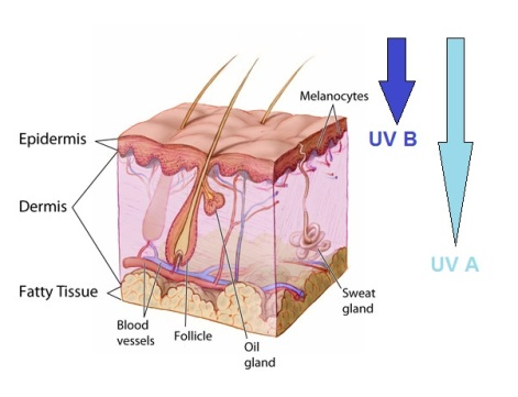 Penetration of UV in to different layers of the skin