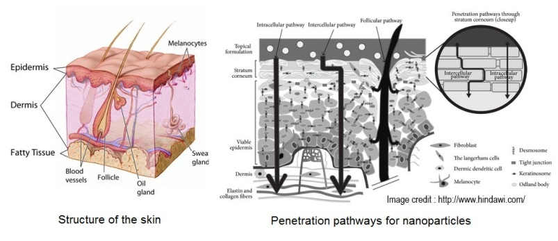 skin structure and nano particle penetration pathways